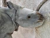 Впервые в результате искусственного оплодотворения на свет появился редкий носорог