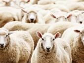 Во Франции в школу зачислили 15 баранов и овец