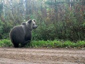В Финляндии произошло ДТП между автомобилем и медведем