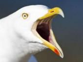 В Британии чайка похитила чихуахуа