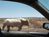 В Израиле бык покалечил подростка