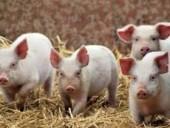 В Болгарии из-за АЧС уничтожили 17 тыс. свиней