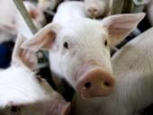В Северную Ирландию завезли мясо, зараженное АЧС