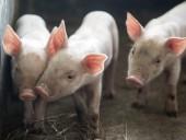 АЧС: Китай скупает французскую свинину