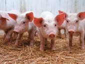 АЧС: цены на свиней во Франции выросли уже на 22%