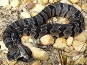 В США нашли редкую двухголовую змею
