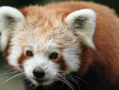 Найдено малую панду, которая сбежала из заповедника почти месяц назад