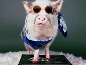 В американском аэропорту свинка Лилу успокаивает людей перед полетом