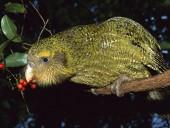 В Новой Зеландии продолжается вымирание нелетающих попугаев какапо, несмотря на старания экологов