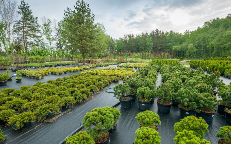 Саженцы туи – прекрасное решение для озеленения ландшафта