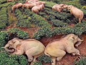 Пользуясь карантином: слоны забрели в китайскую деревню и напились вина