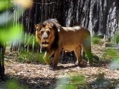 У нескольких тигров и львов в зоопарке Нью-Йорка подтвердили коронавирус