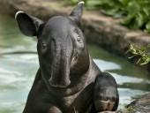 В дикой природе Бразилии впервые за сто лет родился тапир