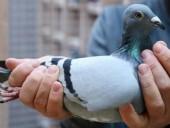 В Бельгии продали голубя для гонок за рекордные почти 2 млн долларов