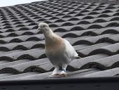 В Австралии усыпят голубя-рекордсмена, который прилетел из США