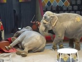 Дуэль за самца: в российском цирке слонихи на арене устроили драку