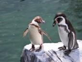 В Норвегии после месяцев карантина вакцинируют пингвинов