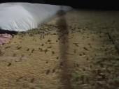 Нашествие мышей в Австралии: грызуны покусали уже трех человек