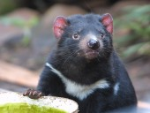 На материковой части Австралии родились первые за 3 тысячи лет тасманийские дьяволы