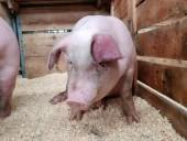 Итальянцы показали жестокое обращение со свиньями на фермах