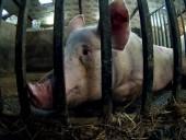 Зоозащитники показали, каким пыткам подвергаются свиньи на фермах
