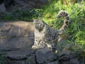 Невакцинированный снежный барс в зоопарке Сан-Диего заразился COVID-19