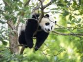 В Китае заявили, что большие панды больше не классифицируются как находящиеся под угрозой исчезновения