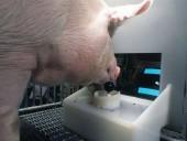 Ученых ошеломили умственные способности свиней: они умеют играть в видеоигры