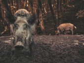 Жители Рима сняли видео, как по улицам бродят дикие свиньи